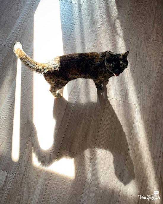 tortie cat and her shadow