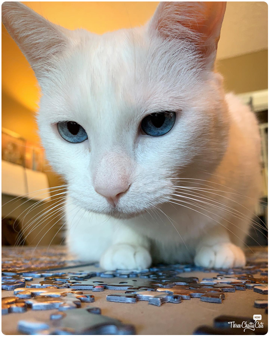 white cat with blue eyes helping with puzzle