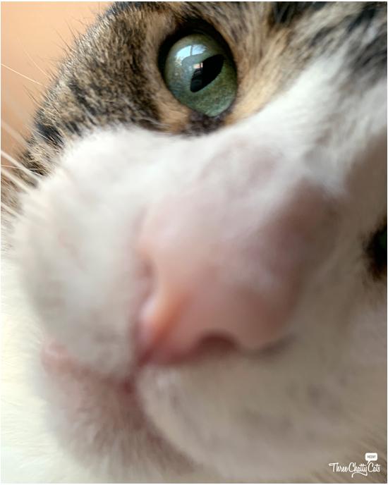 close up of tabby cat blooper