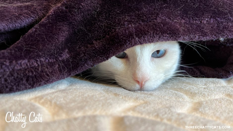 white cat under purple blanket
