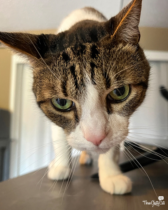 cute and curious tabby cat