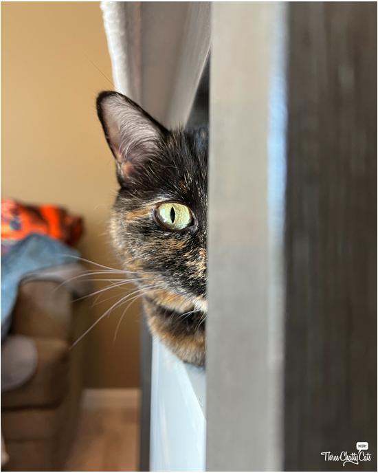 hiding tortie cat