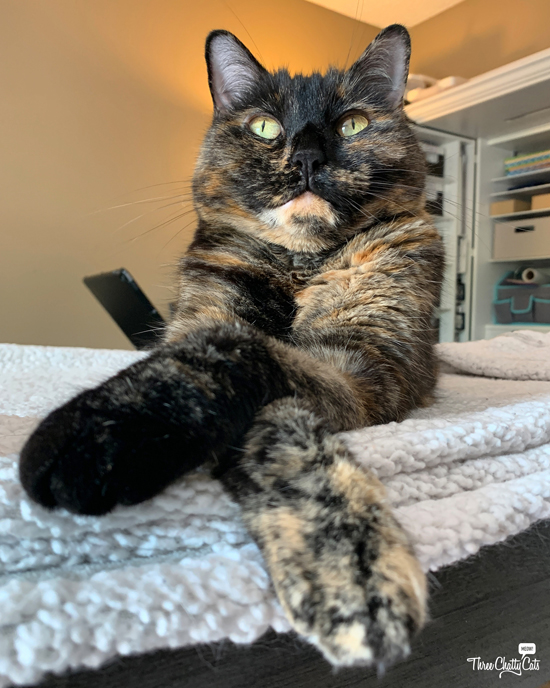 cute tortie cat with crossed paws