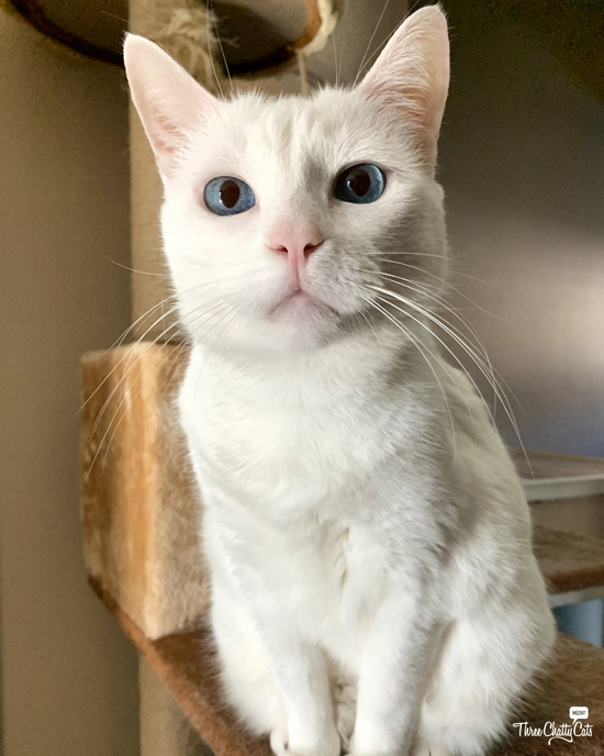 adorable white cat with blue eyes